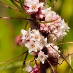 Cuscuta epithymum - Klein warkruid