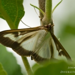 Cydalima perspectalis - Buxusmot