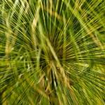 Cyperus papyrus - Papyrusriet