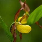 Genus Cypripedium