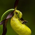 Cypripedium calceolus - Vrouwenschoentje