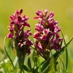 Dactylorhiza coccinea - Steenrode orchis