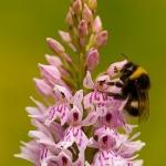 Dactylorhiza fuchsii - Bosorchis & Bombus sp. - Hommel sp.: Bestuiver