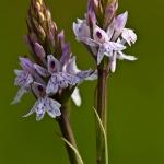 Dactylorhiza fuchsii - Bosorchis