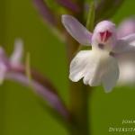 Dactylorhiza fuchsii x Gymnadenia conopsea