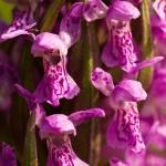Dactylorhiza incarnata - Vleeskleurige orchis