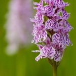Dactylorhiza maculata - Gevlekte orchis