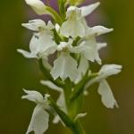 Dactylorhiza maculata - Gevlekte orchis (albiflora)