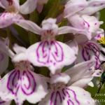 Dactylorhiza maculata - Gevlekte orchis & Oedemera nobilis - Fraaie schijnbok: Bestuiver