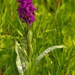 Dactylorhiza majalis - Brede orchis