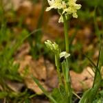 Dactylorhiza markusii & Ophrys pallida
