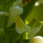 Dactylorhiza ochroleuca - Lis-orchis