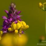 Dactylorhiza praetermissa - Rietorchis