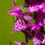 Dactylorhiza praetermissa subsp. junialis - Gevlekte rietorchis