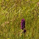 Dactylorhiza purpurella - Purperrode orchis