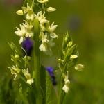 Dactylorhiza romana - Romeinse orchis