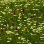 Dactylorhiza sambucina - Vlierorchis