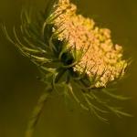 Daucus carota - Peen