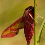 Deilephila porcellus - Klein avondrood