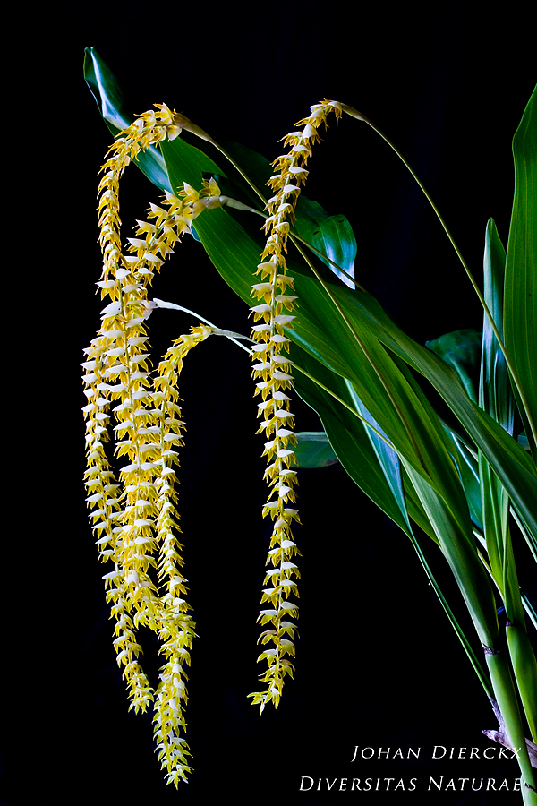 Dendrochilum latifolium var. macranthum