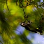 Familia Picidae - Spechten