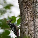 Dendrocopos medius - Middelste Bonte Specht