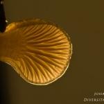 Panellus mitis - Dennenschelpzwam