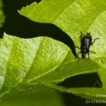 Deporaus betulae - Berkenbladrolkever