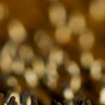 Diachea leucopodia - Witpootglinsterkopje