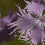 Dianthus monspessulanus - Montpellieranjer