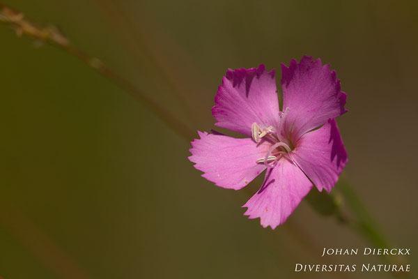 Dianthus sylvestris - Bosanjer