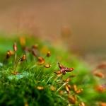 Dicranella heteromalla - Gewoon pluisjesmos