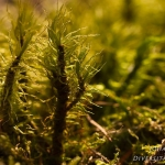 Dicranum polysetum - Gerimpeld gaffeltandmos