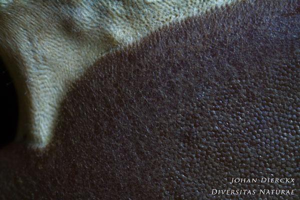 Dictydiaethalium plumbeum - Loodkleurig netplaatje