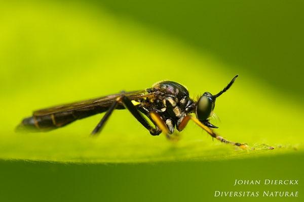 Dioctria hyalipennis - Gewone bladjager
