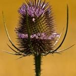 Familia Dipsacaceae - Kaardebolfamilie