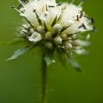 Dipsacus pilosus - Kleine kaardebol