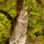 Diurnea fagella - Voorjaarskortvleugelmot