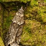 Familia Chimabachidae - Kortvleugelmotten