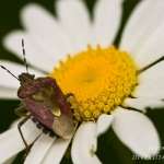 Dolycoris baccarum - Bessenwants