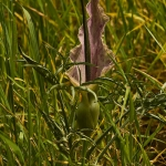 Dracunculus vulgaris - Drakenwortel