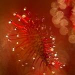 Drosera intermedia - Kleine zonnedauw