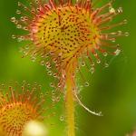 Drosera rotundifolia - Ronde Zonnedauw