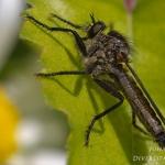 Dysmachus picipes - Slanke borstelroofvlieg