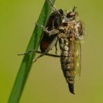 Dysmachus trigonus - Borstelroofvlieg