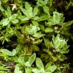 Encalypta streptocarpa - Groot klokhoedje