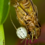 Enoplognatha ovata - Gewone Tandkaak