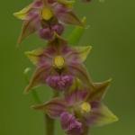 Epipactis atrorubens - Bruinrode wespenorchis