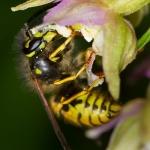 Epipactis helleborine - Brede wespenorchis & Vespula vulgaris - Gewone Wesp: Bestuiver