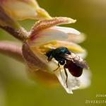 Epipactis palustris - Moeraswespenorchis & Chrysididae sp. - Goudwesp sp.: Bestuiver